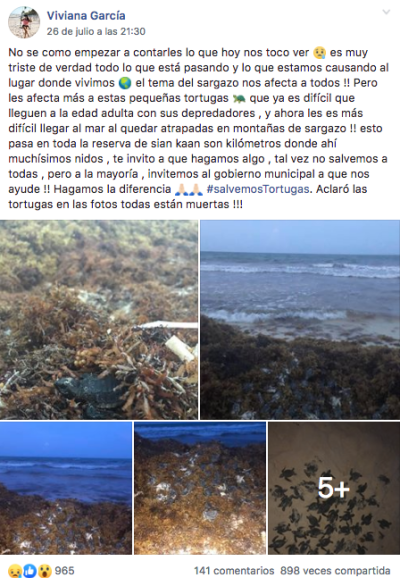 En Facebook, una usuaria reportó la muerte de crías de tortuga marina debido a la presencia del sargazo en playas.