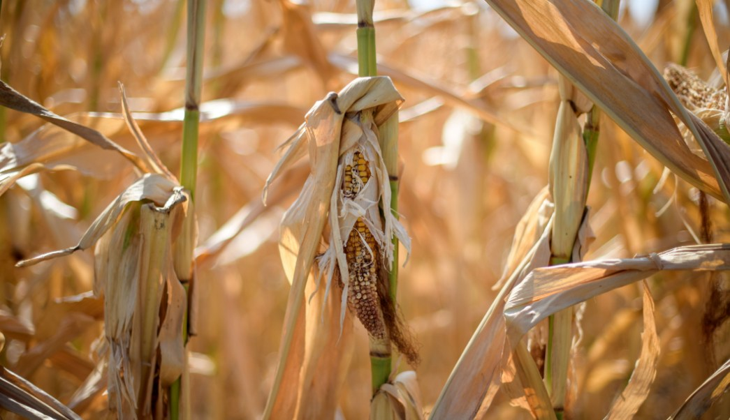 foto ¿El maíz pudo contribuir al colapso de los mayas? 3 julio 2019