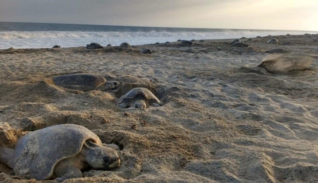 Imagen: Las primeras tortugas golfinas llegan a la costa de Oaxaca, 4 de julio de 2019 (Profepa)