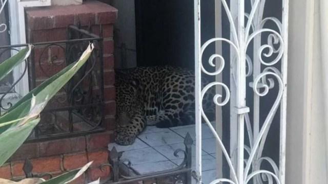 Aseguran un leopardo en Tijuana.