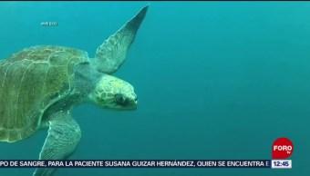 Microplástico daña a las tortugas en el océano