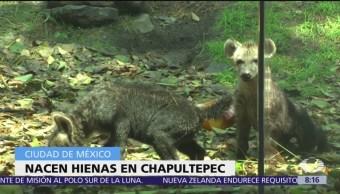 Presentan cachorros de hiena en Zoológico de Chapultepec, CDMX
