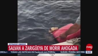 FOTO: Salvan a zarigüeya en aguas profundas en Michigan, 14 Julio 2019