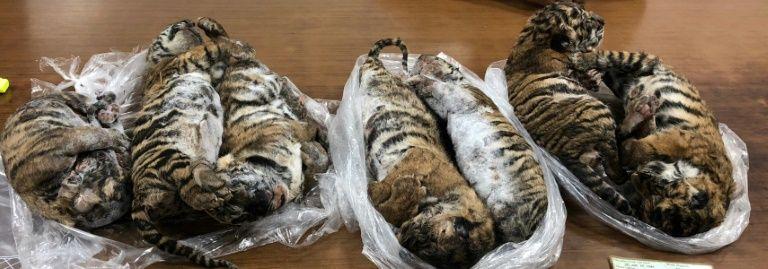 tigres congelados vietnam