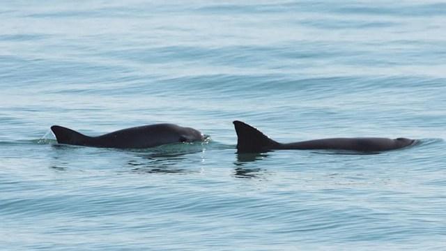 Unesco declara Patrimonio en Peligro, islas y áreas del golfo de California donde habita la vaquita marina