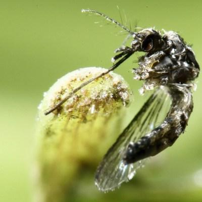 Identifican en México presencia del 'mosco negro', transmisor de virus mortal