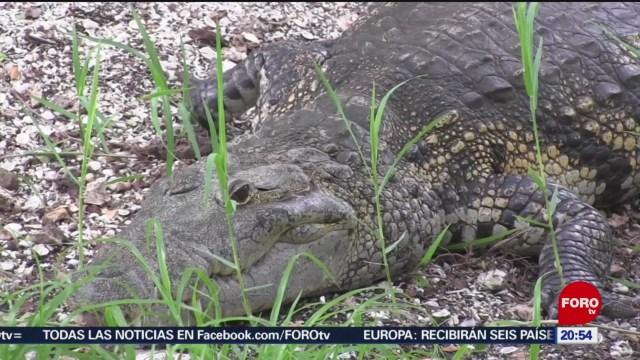 FOTO: Acciones para proteger al cocodrilo 'Moreletti' en Yucatán, 24 Agosto 2019