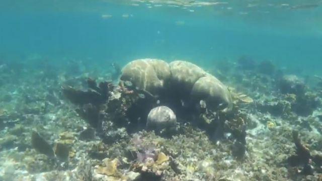 Síndrome del Coral Blanco daña el Sistema Arrecifal Mesoamericano