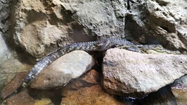 Foto: Zoológico de León logra la reproducción de 14 crías de cocodrilo Moreletti, 18 agosto 2019