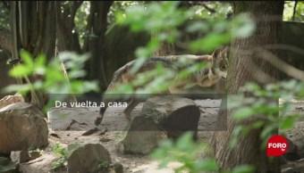 FOTO: La conservación de los lobos en México, 24 Agosto 2019
