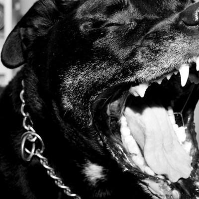 Perros pitbull matan a niña de 9 años