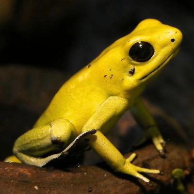 Esta rana es el animal más tóxico del mundo; su veneno mata elefantes