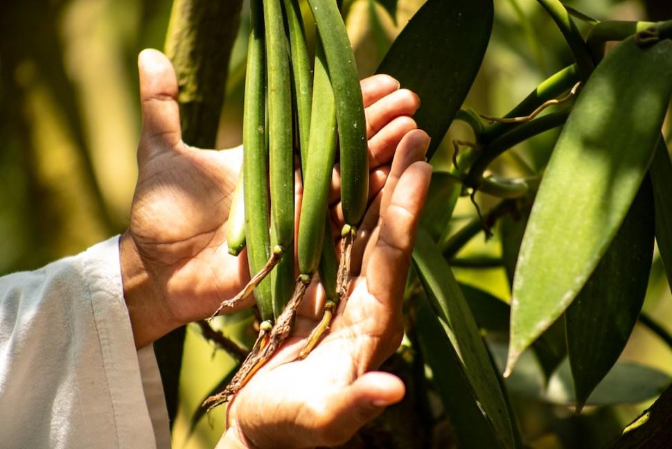 Foto: Cultivos de vainilla en veracruz. Agosto 2019