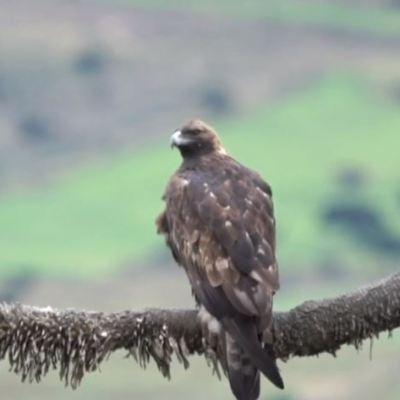 'Por el Planeta': El águila real, en peligro de extinción