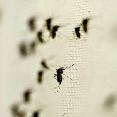 Gobierno de AMLO anuncia acciones para combatir dengue; denuncian mercados 'amafiados' de insecticidas