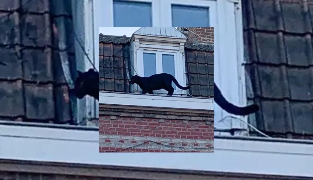 FOTO Capturan a pantera negra que vagaba por edificio en Francia (The Independent