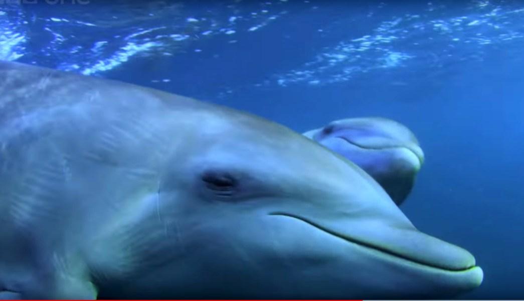 Foto:Delfines drogados con pez globo. 24 Septiembre 2019