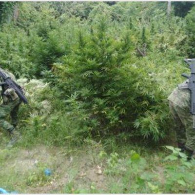 Destruyen 63 plantíos de marihuana y amapola en seis estados
