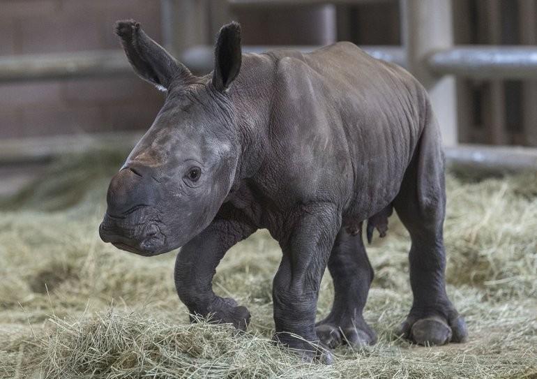 Foto: rinoceronte blanco bebé, 12 de septiembre de 2019 (Twitter @Impacto_Vzla)