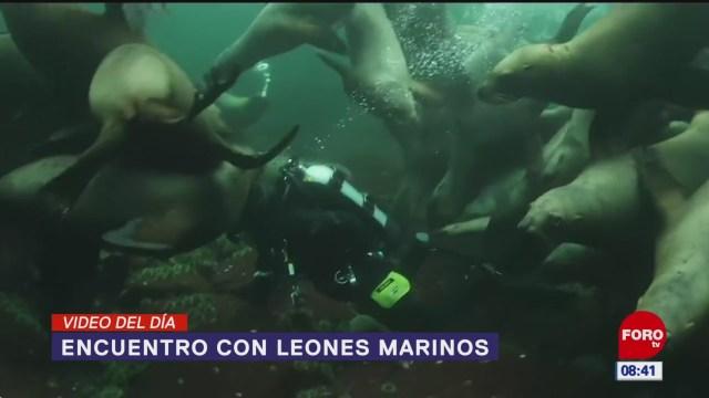 #ElVideodelDía: Encuentros con leones marinos