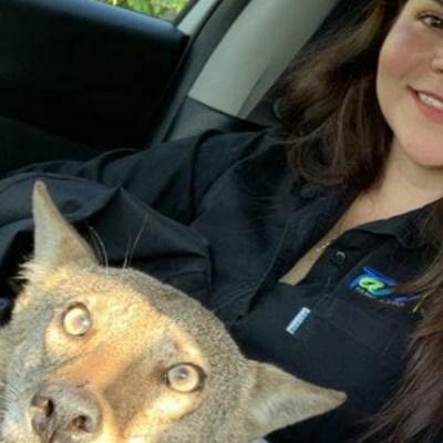 Joven rescata a un coyote herido creyendo que era un perro callejero