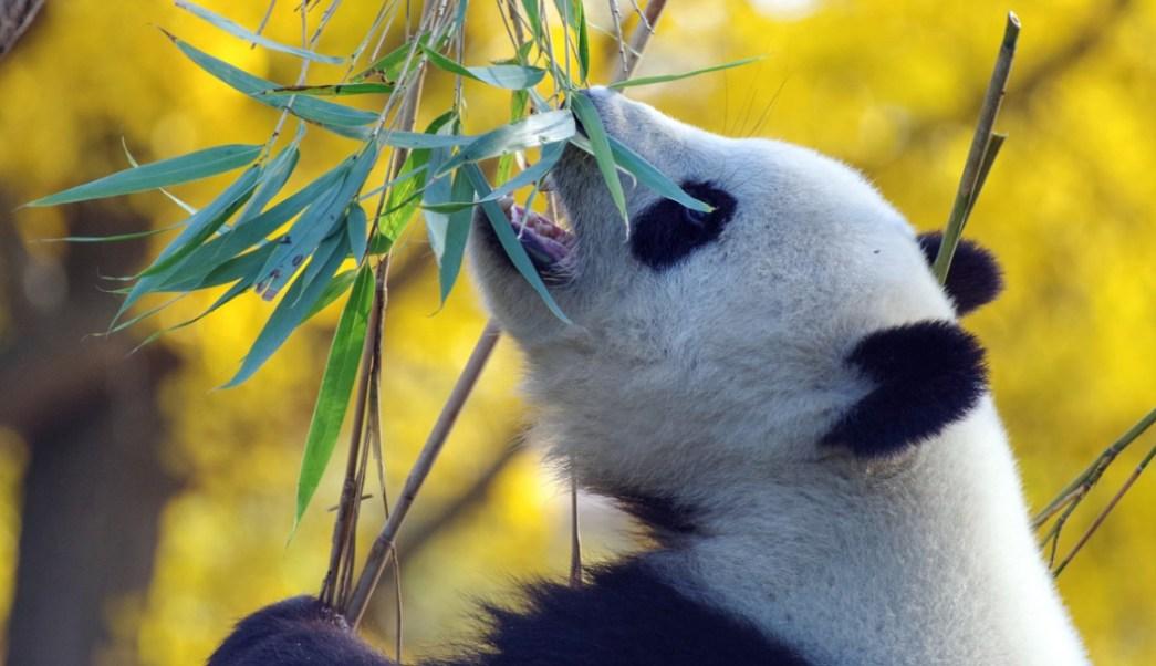 Foto:Panda comiendo hojas de bambú. 17 septiembre 2019