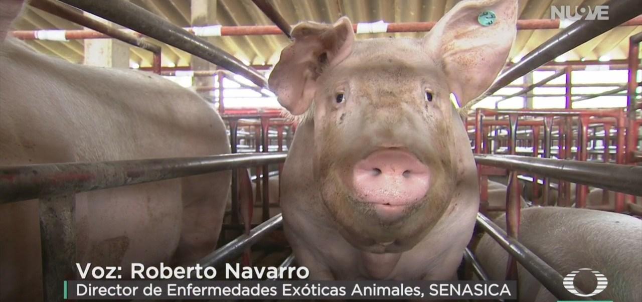 FOTO: Realizará Senasica Simulacro Por Peste Porcina Africana