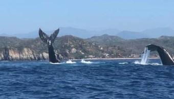 Puerto Escondido segundo espacio certificado en observación de ballenas