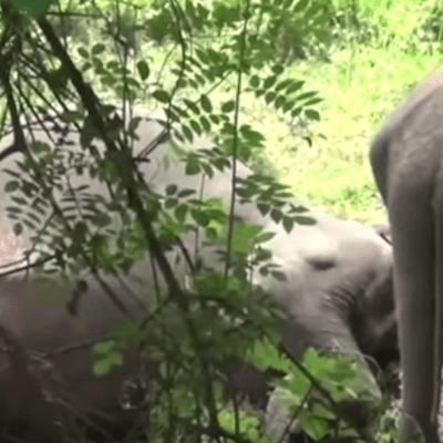 Video: Bebé elefante intenta despertar a su mamá muerta