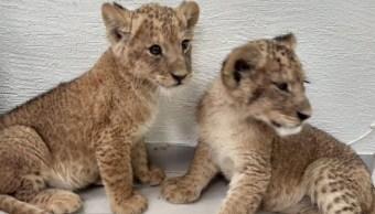 Cachorros de león asegurados
