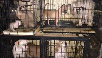 Foto: Varios animales fueron aasegurados, 12 de octubre de 2019, (Twitter @mizitacuaro)