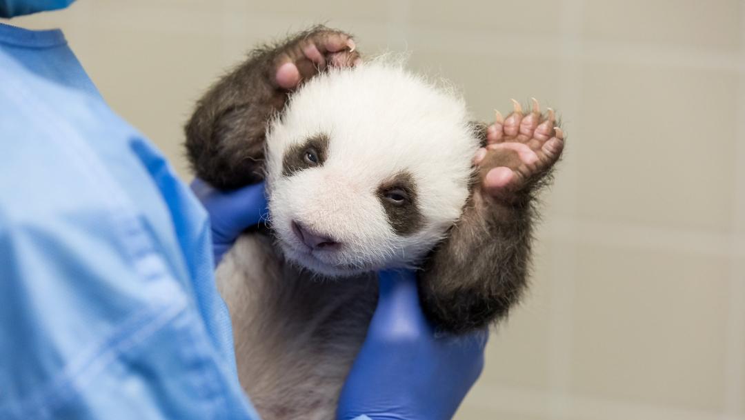 Foto: Pandas del zoológico de Berlín abren por primera vez los ojos al mundo, 18 de octubre de 2019, (Twitter @zooberlin)