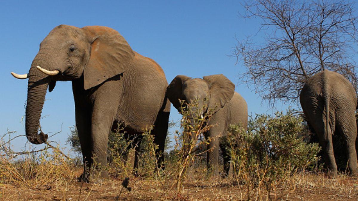 Trasaldan a 32 elefantes de Zimbabue en avión.