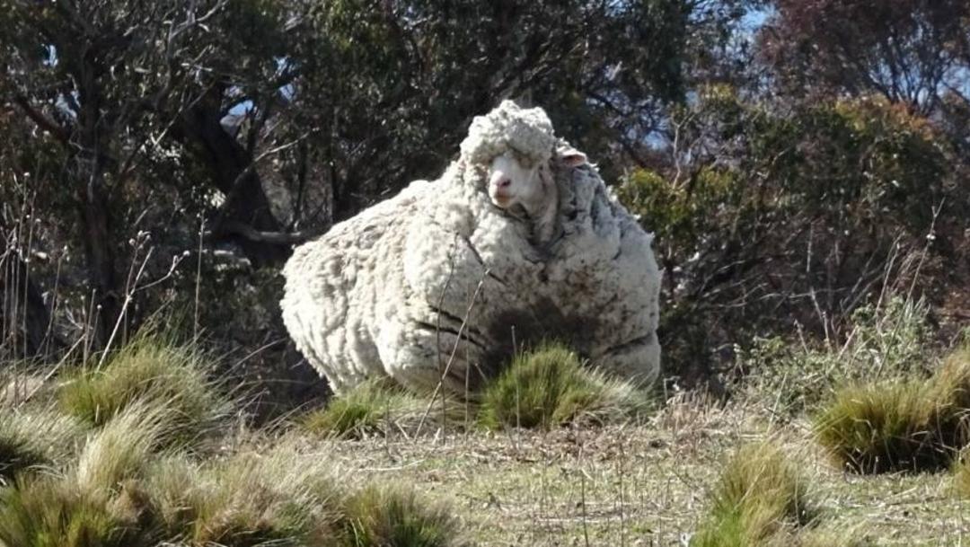 Foto: En 2015, Chris la oveja fue descubierto en las afueras de Canberra, la capital de Australia, luchando por caminar bajo el peso de su lana, 22 de octubre de 2019 (Reuters)