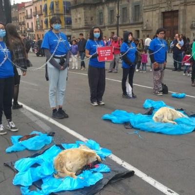 Activistas pro-animales se encadenan afuera de Palacio Nacional en CDMX