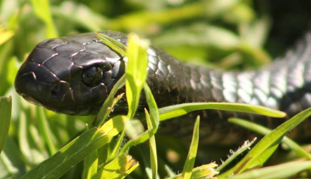 Foto muestra el camuflaje de la serpiente más venenosa de Australia 3 octubre 2019