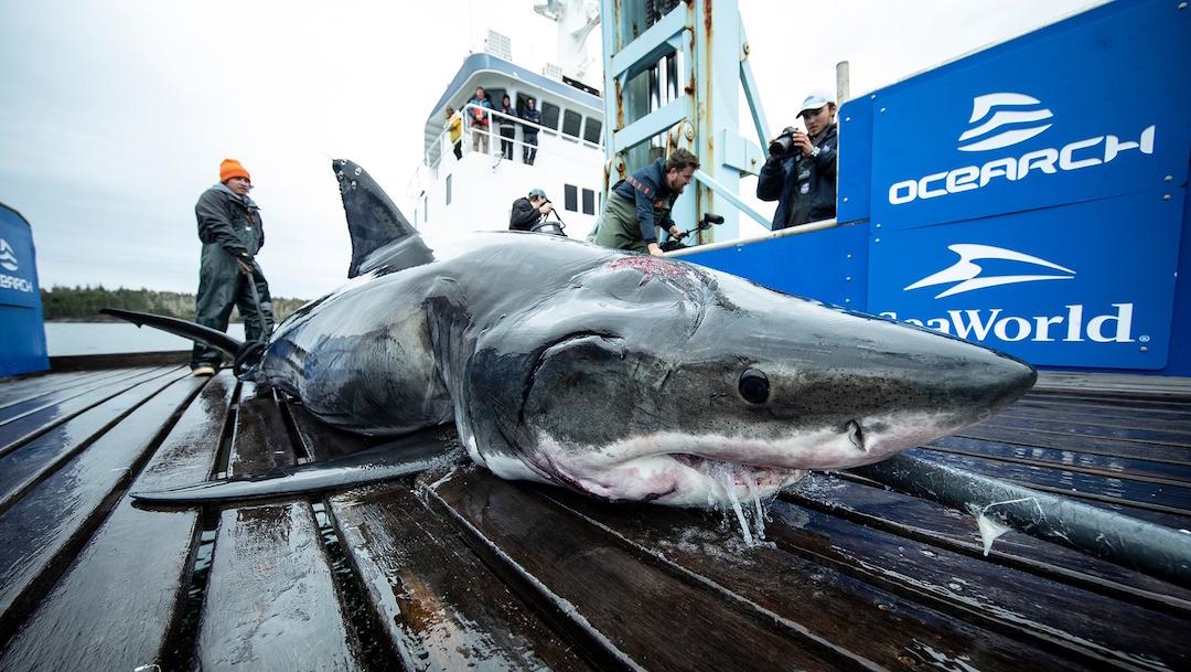 Foto Encuentran a tiburón de 4 metros con mordida de un animal más grande 24 octubre