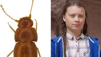 Foto: El escarabajo mide menos de un milímetro de largo y no cuenta con ojos ni alas, 25 de octubre de 2019 (Museo de Historia Natural de Londres)