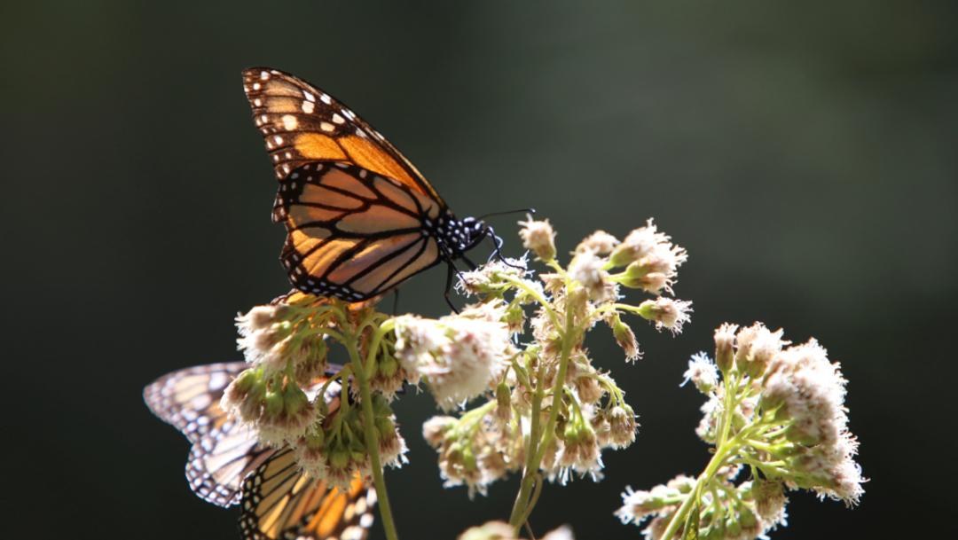 Imagen: Se reconoce al estado por su trabajo de conservar y cuidar los bosques y ejidos que reciben a la mariposa monarca, 17 de noviembre de 2019 (Juan José Estrada Serafín /Cuartoscuro.com)