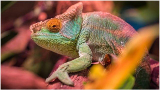 Imagen: Camaleones están entres los animales exóticos rescatados en CDMX, 9 de noviembre de 2019 (Pixabay)