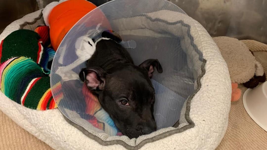 Foto: Cachorro de pitbull se recupera tras ser quemado con soplete