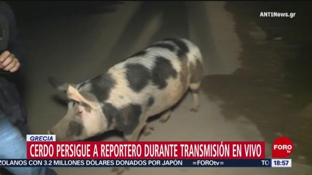 FOTO: Video Cerdo persigue reportero transmisión vivo