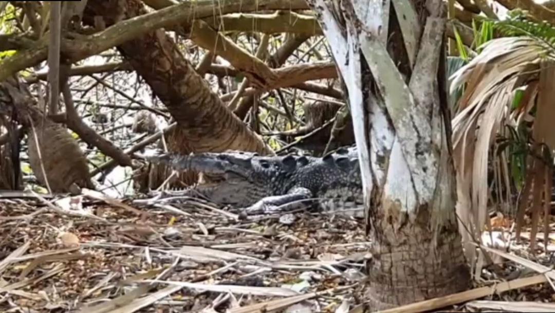 Foto: En la costa oaxaqueña se han registrado varios ataques de cocodrilos en contra de personas, 9 de noviembre de 2019 (Noticieros Televisa)
