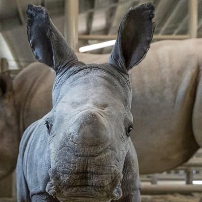 Nace rinoceronte blanco en Zoológico de San Diego, EEUU