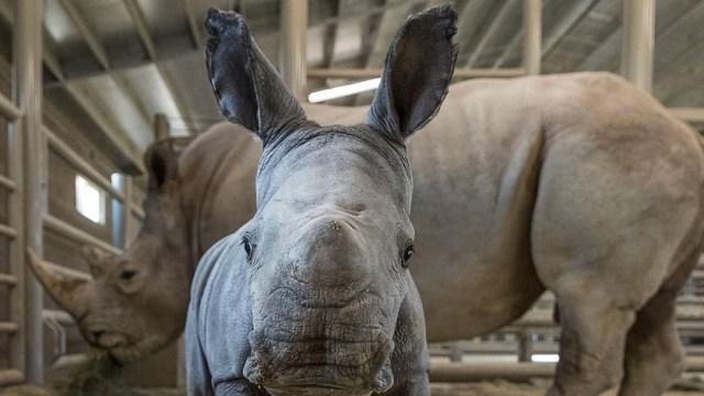Foto Nace rinoceronte blanco en Zoológico de San Diego, EEUU, 21 de noviembre de 2019 (San Diego Zoo)