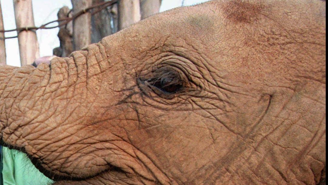 FOTO Al menos 200 elefantes mueren de hambre en Zimbabue (AP, archivo)