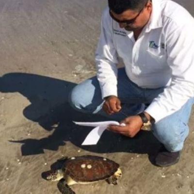 Hallan 130 tortugas muertas por redes de pesca en Tamaulipas