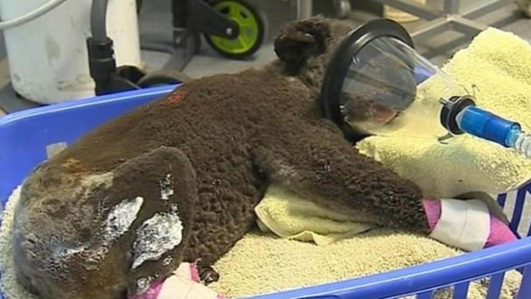 Incendios en Australia han destruido 80% del hábitat de los koalas