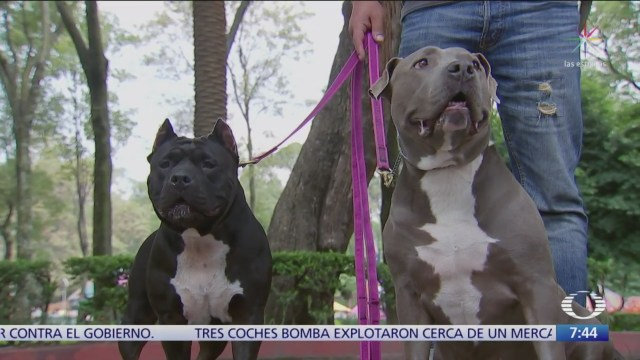 Los pitbull no son agresivos por naturaleza