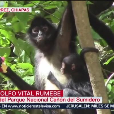 Nace mono araña en el Cañón del Sumidero